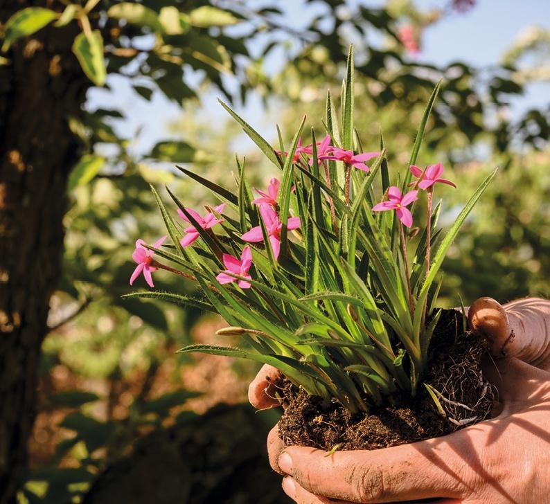 Hogendoorn   Excellent in young plants